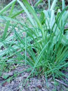 Chives are easy to grow in the garden and have a mild onion flavor