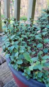 Chocolate mint has a dark stem and when the leaves are crushed actually has a faint chocolate aroma