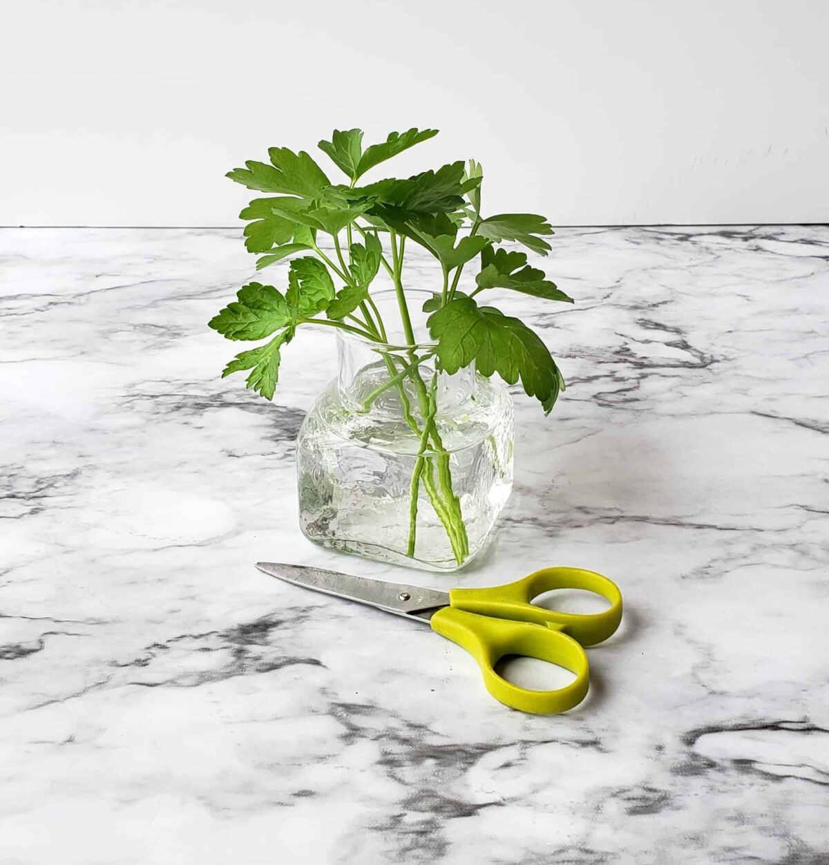 cut fresh parsley in a jar of water with scissors on marble surface