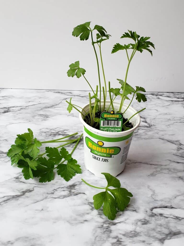 Trim large leaves on a pot of parsley before dividing and planting. Bonnie Plants pot of parsley