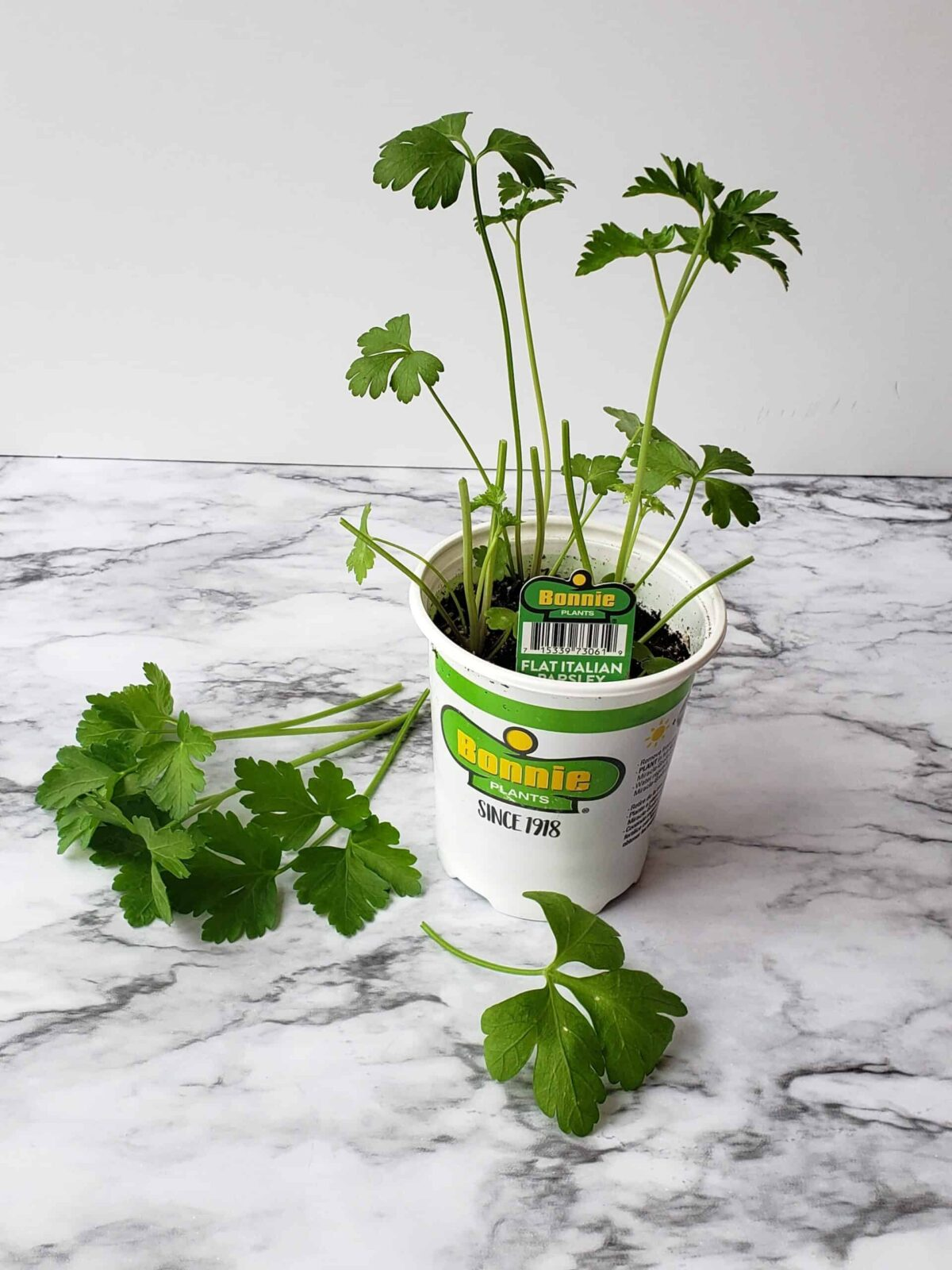 Cut parsley stems from potted plant laid on marble surface