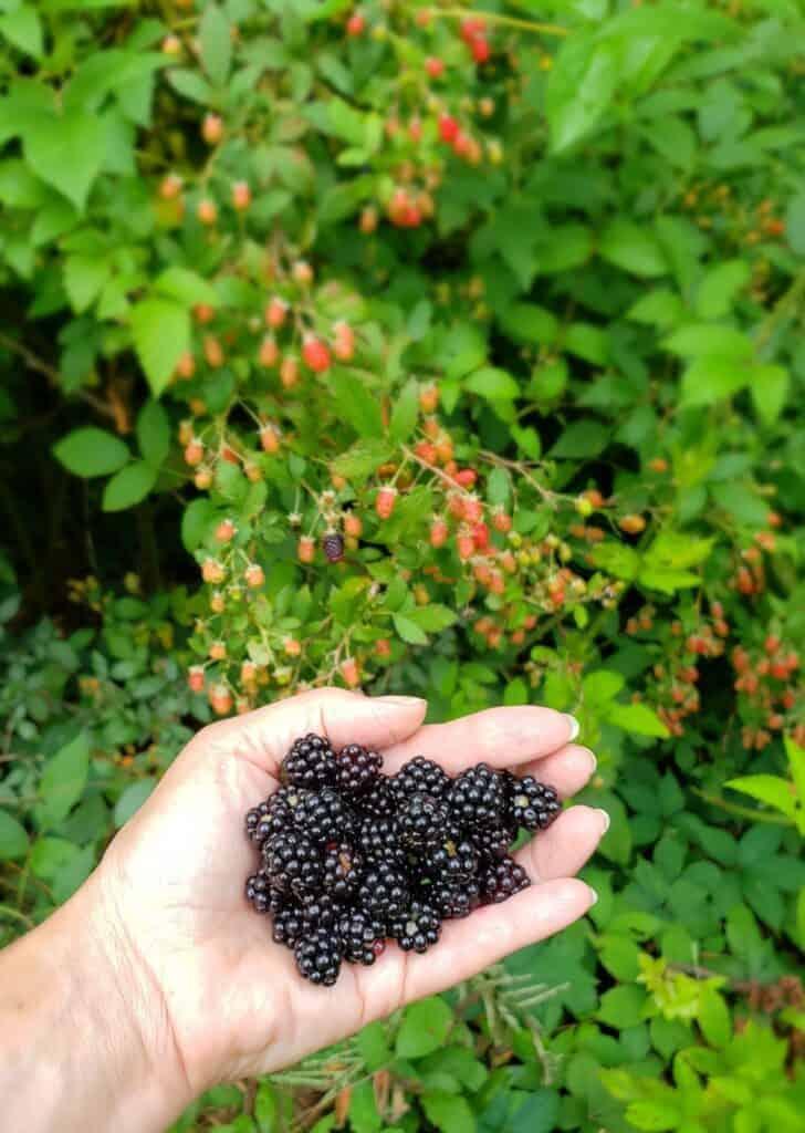 Handful of blackberries with wild blackberry bush in background
